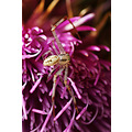 Small white spider on Thistle