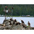 bald eagles flock birds alaska