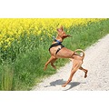 animal dog HungarianVizsla Vizsla Alvaro hunting hunts huntsInsects
