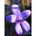 purple enamel orchid flower plant native nature
