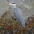 heron bird nature luxembourg