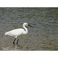 This is a Little Egret, the guest star of my coming series�