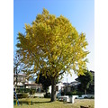 maidenhair tree in the park Japan