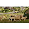 move sheep cars saddle hill mosgiel dunedin littleollie