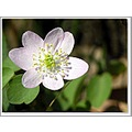 rueanemone wildflower pink nature