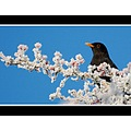frost blackbird bird nature dorset somersetdreams christmas published