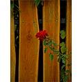 flower autumn rose wood fence nature closeup dof abstract
