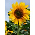 sunflowers flowers yellow orange