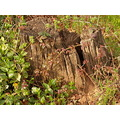nature tree oldstump