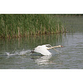 tisza lake poroszlo nature animal white