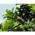 bird sparrow nature wire
