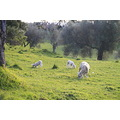 spring lambs one tree hill domain