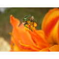 PIXEL insects pollen beetle orange flower tiger lilly