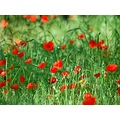 poppies cotignac provence