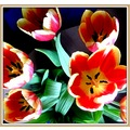 flowers tulips colours
