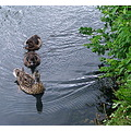 Ducks Ducklings Wildfowl Birds Nature Mum children Barnes Wetland Centre London