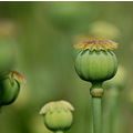 poppy seed heads tapeley park devon