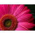 flower nature macro jett366 lily pinoykodakeros daisy mother nanay
