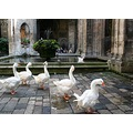 gooses  in the cloister cathedral Barcelona