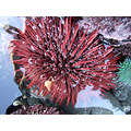 A HUGE Red Sea Urchin - must have been about eight inches across. ..