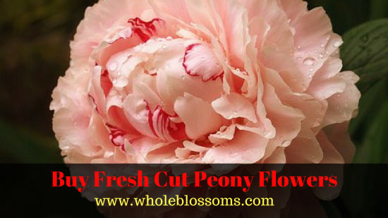 Peonies For Where To Order Fresh Cut Online